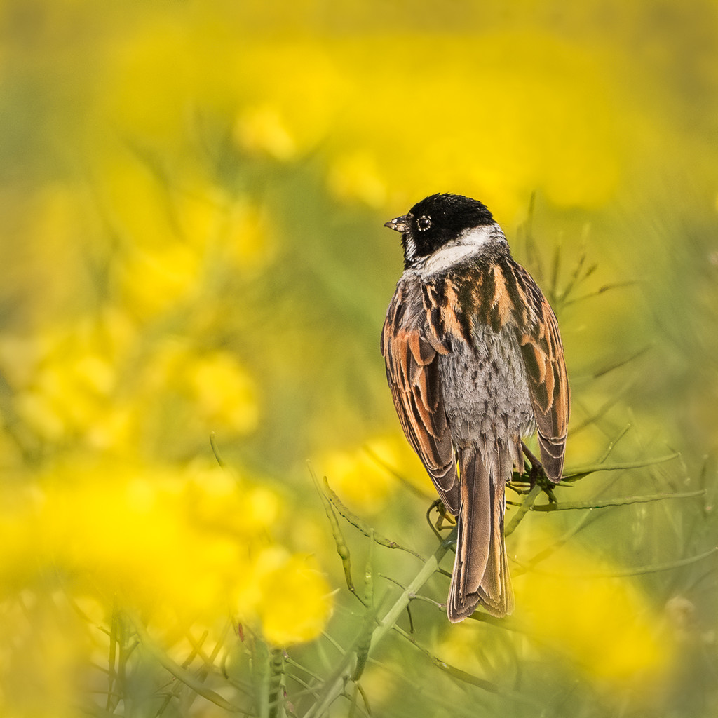 Reed bunting on yellow by inthecloud5