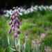 Unknown Purple Flower  or Buds