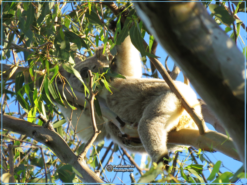 only a koala could sleep like this by koalagardens