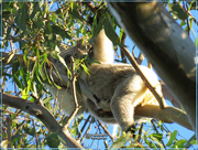8th May 2019 - only a koala could sleep like this