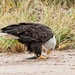 Eagle - Dinner time