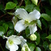 Clematis ... by snowy