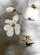 9th May 2019 - Magnolia Tree!