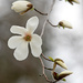 Magnolia Tree! by fayefaye