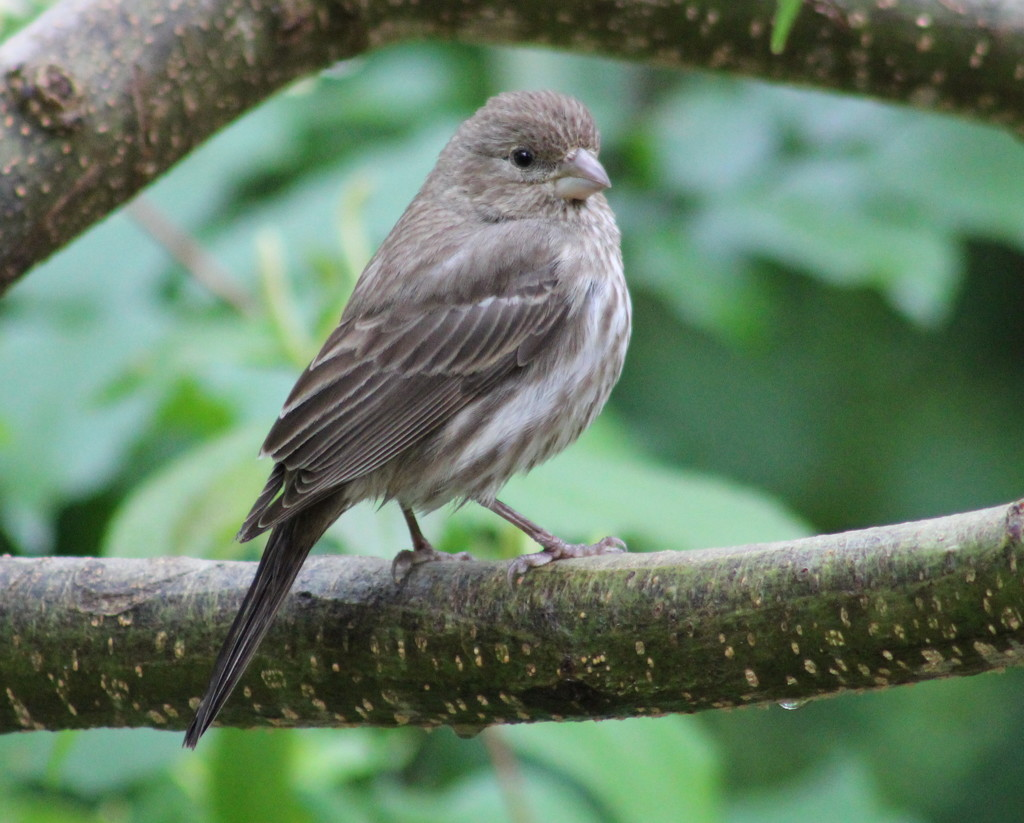 Young Finch by cjwhite