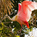Roseate Spoonbill! by rickster549