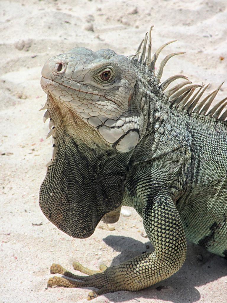 Iguana Lizard by pdulis