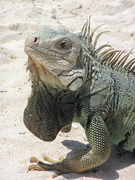 9th May 2019 - Iguana Lizard