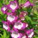 Beardtongue: strange name, pretty flower