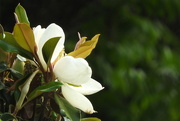 9th May 2019 - The magnolias are bloomin', Y'all!