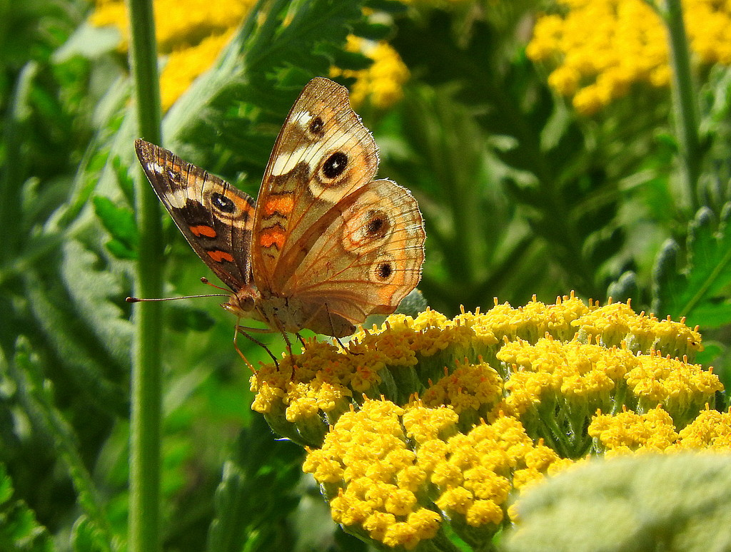 Painted Lady on Golden Yarrow by homeschoolmom