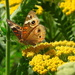 Painted Lady on Golden Yarrow