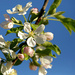 Blue Sky and Apple Blossoms by gq