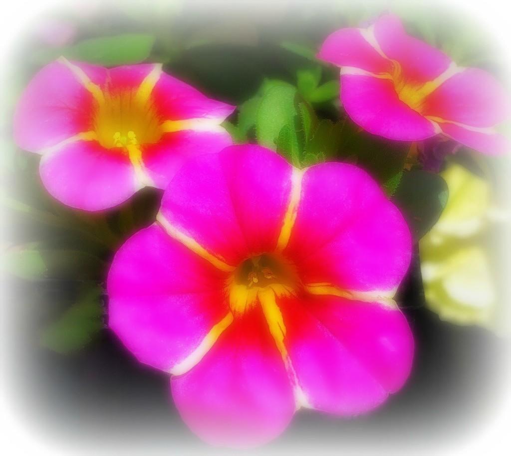 Pink Star Calibrachoa by gardenfolk