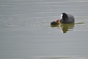 11th May 2019 - Coot and chick..........