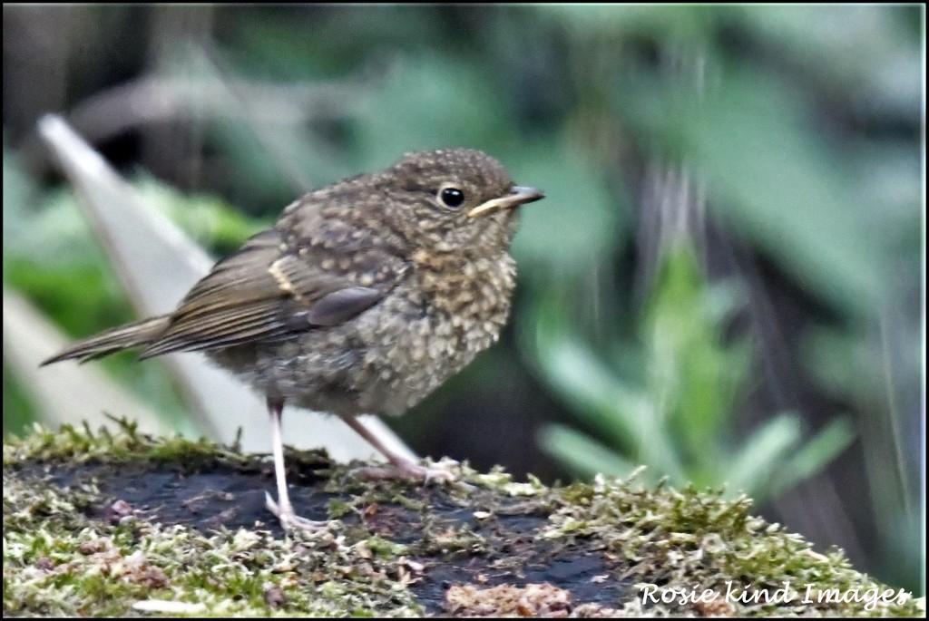 Baby robin by rosiekind