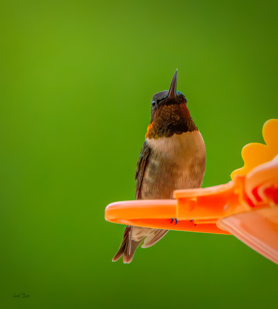 hummingbird #3 by samae