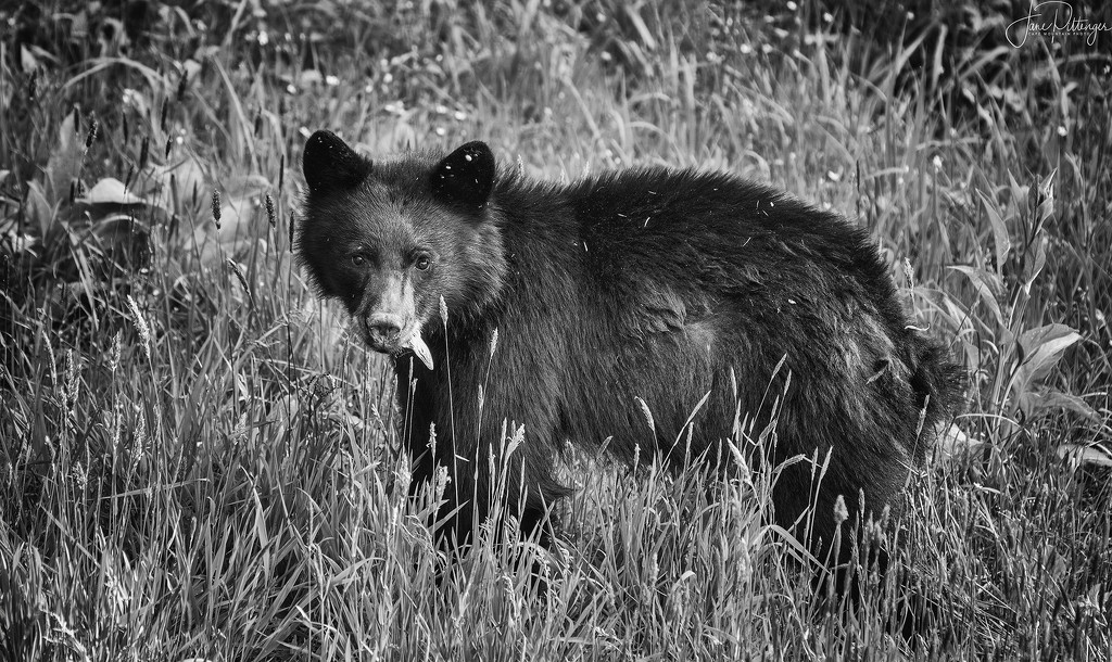 Bear Munching Below the House B and W by jgpittenger