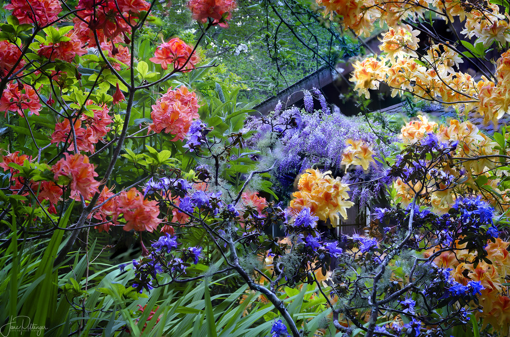 Looking Through the Azaleas Towards the Wisteria by jgpittenger
