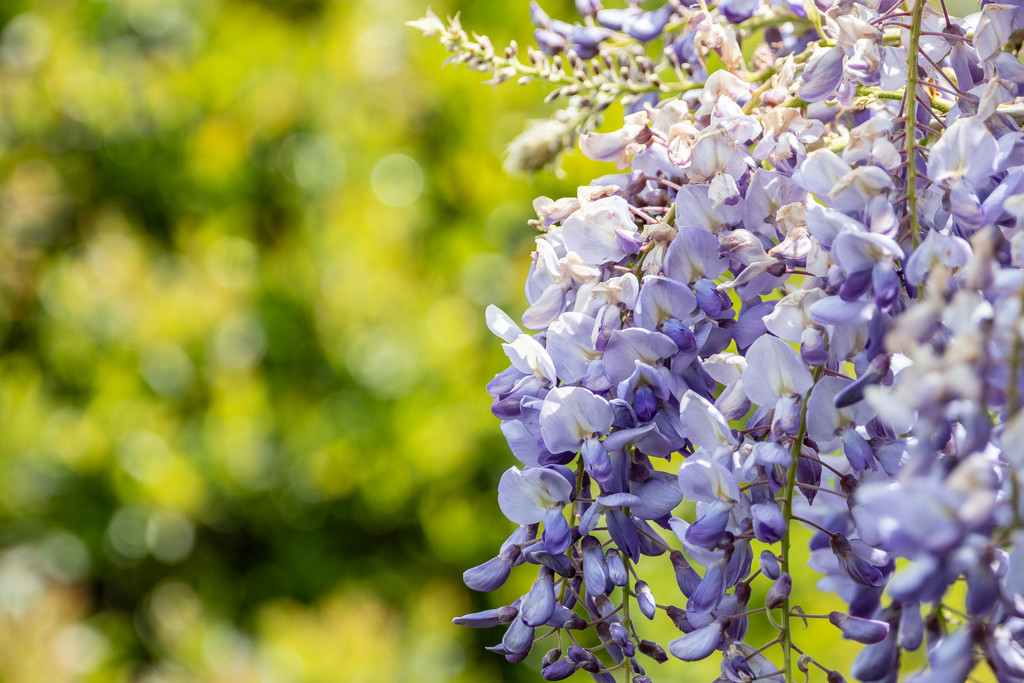 Wisteria  by inthecloud5