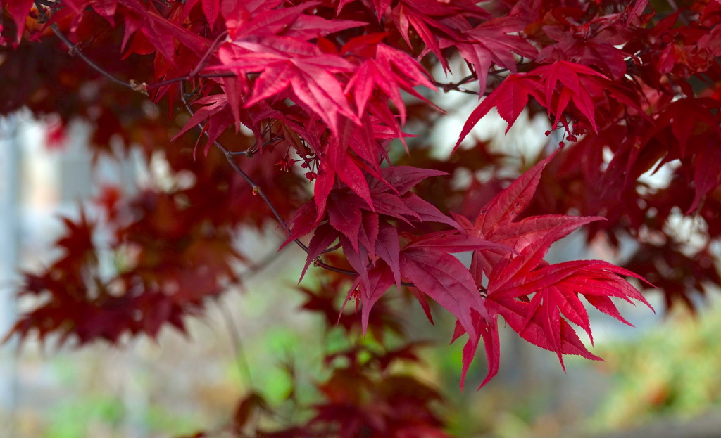 Japanese Maple by redy4et