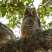 Great Horned Owl Baby's! by rickster549
