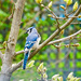 Bluejay by gardencat