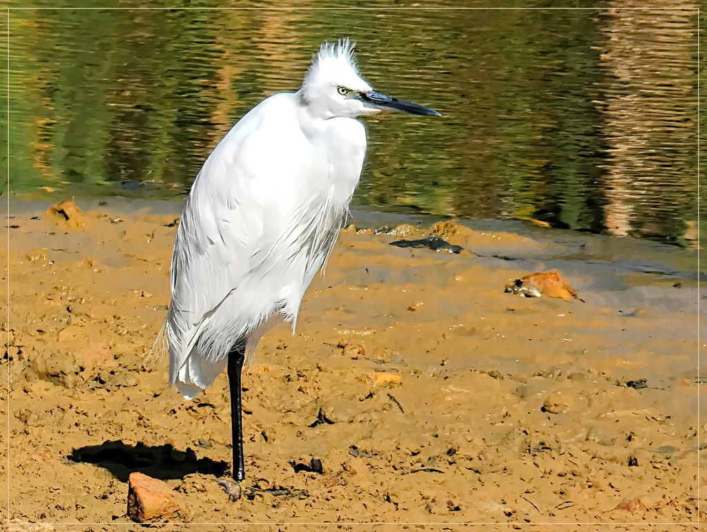 Little Egret  by ludwigsdiana