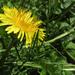 Dandy dandelion  :)
