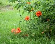10th May 2019 - May 10: Orange Poppy