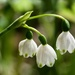 Early Snowdrops_DSC6406 by merrelyn