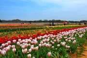 11th May 2019 - The Texas Tulip fields