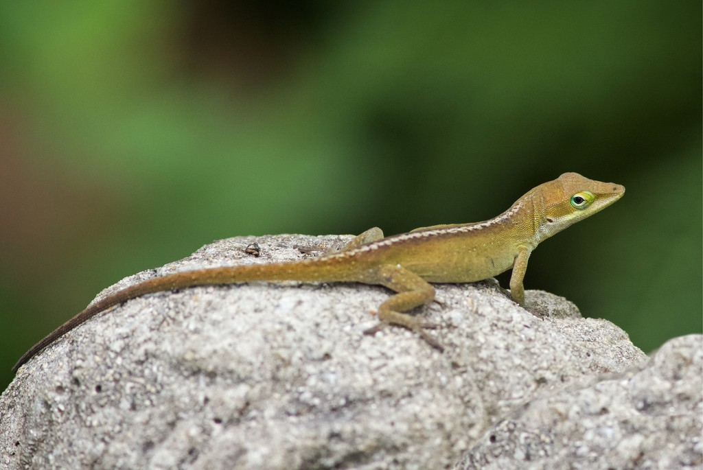 LHG_8465 Anole on the cherub by rontu