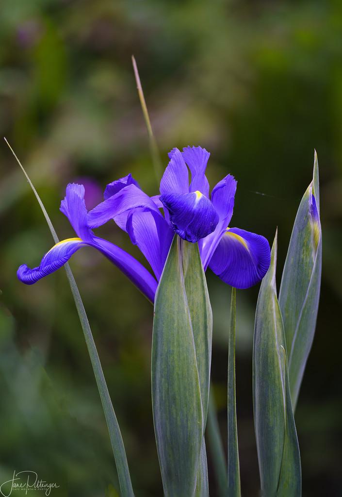 Focus Stacked Iris by jgpittenger
