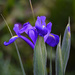 Focus Stacked Iris