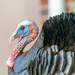 wild turkey! by jernst1779
