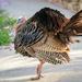 wild turkey!