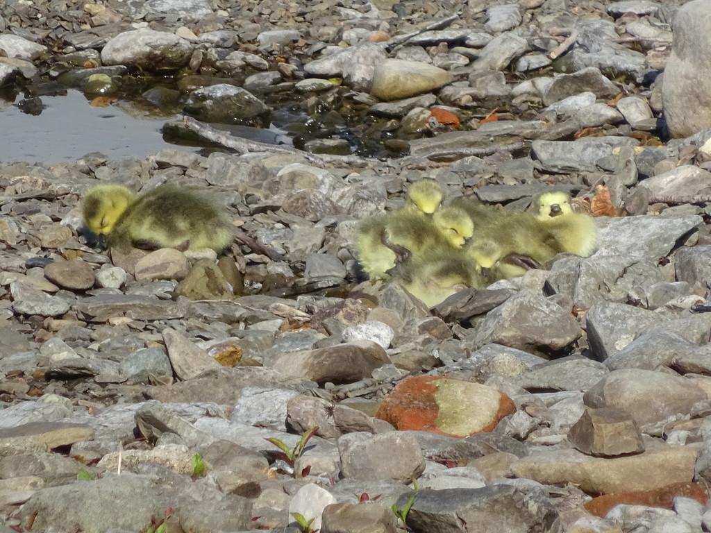 sleepy goslings by anniesue