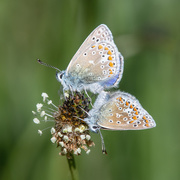 11th May 2019 - Common blue pair