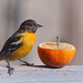 1st Year Male Baltimore Oriole by paintdipper
