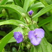 Spiderwort in the rain