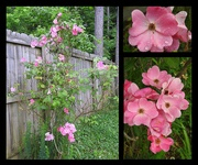 11th May 2019 - Rose bush is full of flowers