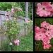 Rose bush is full of flowers