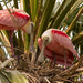 Roseate Spoonbills Checking Over the Nest! by rickster549