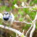 Another Bluejay