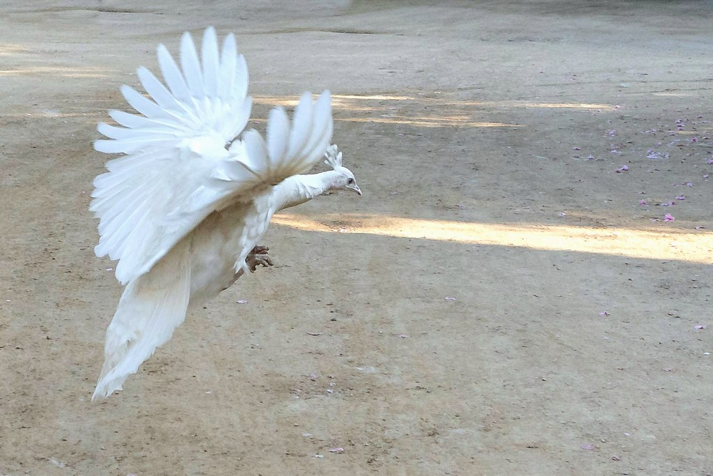 White Peahen Coming in for a Landing . . _ by jyokota