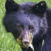 Bear Munching Portrait by jgpittenger