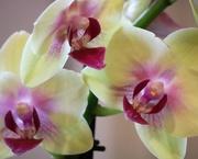 12th May 2019 - May 12: Orchid
