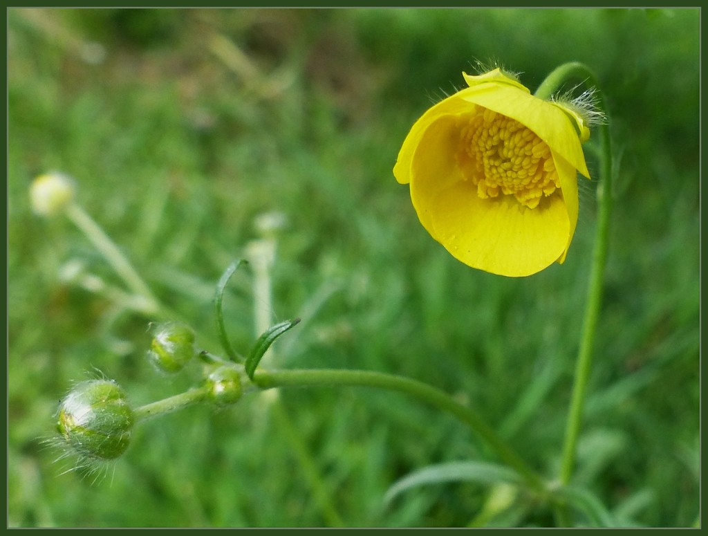 Buttercup  cup by jokristina