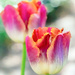 tulip in a neighbor's garden